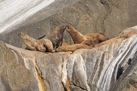 pinniped: Stellar Sea Lions arguing on an Island in Kenai Fjords National Park in Alaska Stock Photo