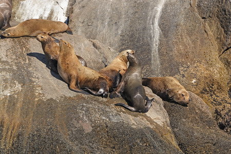 stellar: Stellar Sea Lions on a Remote Island in Kenai Fjords National Park in Alaska