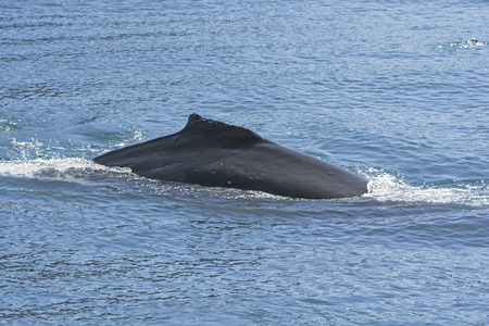 baleen whale: Humpaback Whale Showing its Dorsal Fin in Kenai Fjords National Park