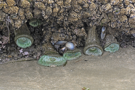 oregon coast: Anemones and Oysters on and ocean tidepool on the Oregon Coast Stock Photo