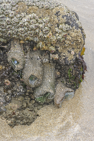 oregon coast: Anemones and Barnacles on an ocean tidepool on the Oregon Coast