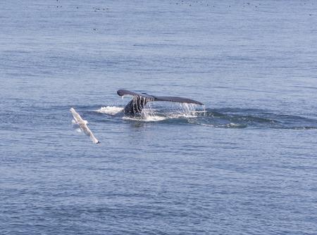 flukes: Humpback Whale Flukes Heading Down in Kenai Fjords National Park Stock Photo