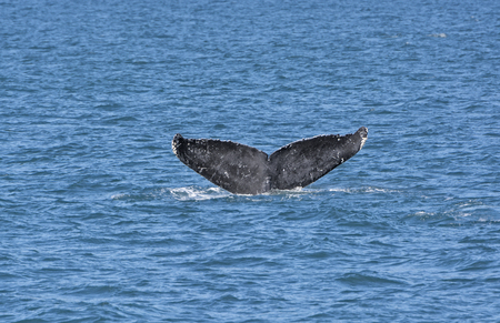 Whale Flukes on the way down in Kenai Fjords National Park in Alaska