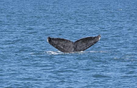 flukes: Whale Flukes on the way down in Kenai Fjords National Park in Alaska