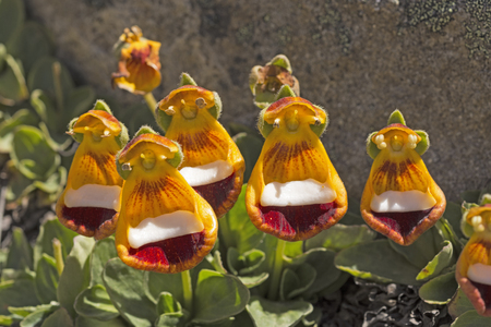 calceolaria: Darwins Slippers on Alpine Tundra in the Patagonian Andes of Argentina Stock Photo