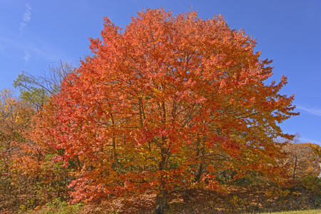 acer saccharum: Sugar Maple in Full Color along the Blue Ridge Parkway in Virginia Stock Photo