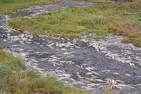 salmon run: Dead and Dying Salmon in a Spawning Stream near Valdez, Alaska Stock Photo