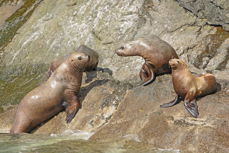 stellar: Stellar Sea Lions on a Rocky Coast in the Valdez Arm of Prince William Sound in Alaska