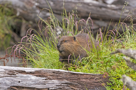 introduced: Introduced North American Beaver on Navarino Island in Tierra del Fuego Stock Photo