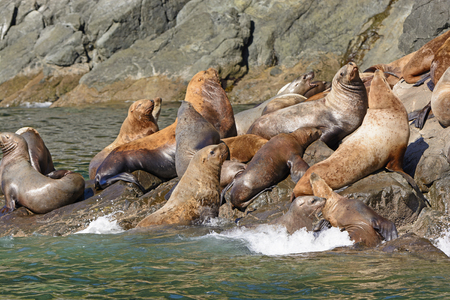 stellar: Stellar Sea Lions Crowding on a Rock in Prince William Sound near Valdez, Alaska