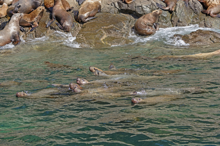 stellar: Stellar Sea Lions Swimming along the Shore in Prince William Sound in Alaska Stock Photo