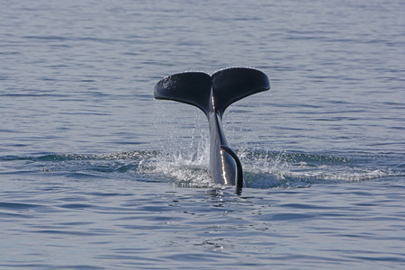 Orca Flukes showing when beginning its dive in Prince William Sound in Alaska Stock Photo