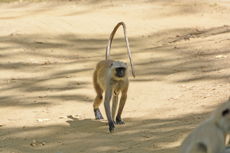 semnopithecus: Northern Inidan Langure walking down a path in Kanha National Park in India
