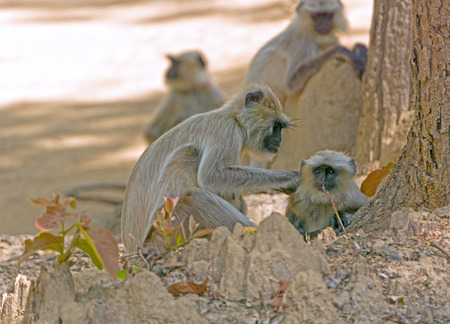 semnopithecus: Female Langur Grooming her Baby in Kanha National Park in India