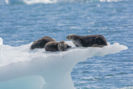 berg: Sea Otters on an Ice Berg in Prince William Sound by the Columbia Glacier in Alaska