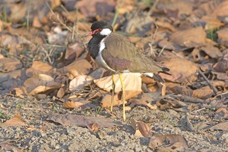 lapwing: Red-wattled Lapwing in the Wilds of Kanha National Park in India