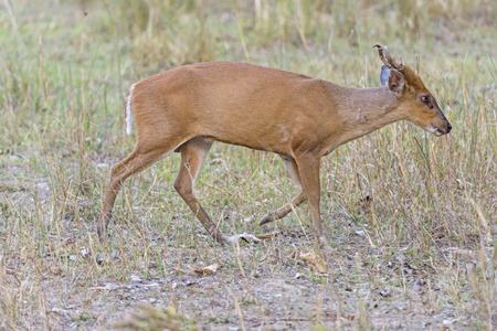 wandering: Muntjac Wandering the Woods in Kanha National Park in India
