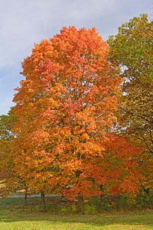 acer saccharum: Sugar Maple in Fall Colors in the Morton Abortetum in Lisle, Illinois