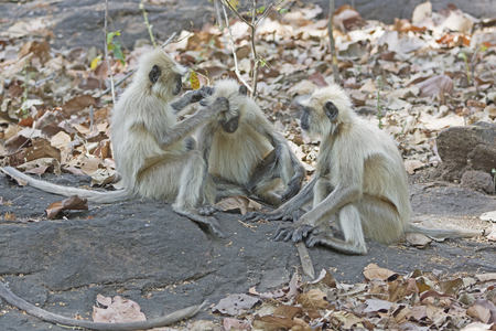 semnopithecus: Langur Monkeys Grooming in the Forest in Bandhavgarh National Park in India