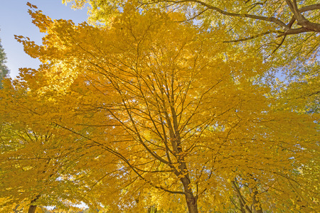 the backbone: Underneath a Maple with Yellow Leaves in the Fall in Backbone State Park in Iowa