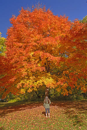 Mit Blick auf eine Zuckerahorn in Herbstfarben in Backbone State Park in Iowa