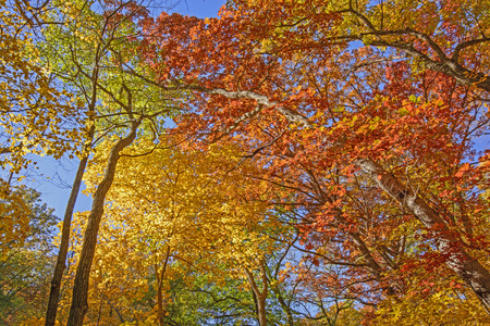 the backbone: Looking up into Fall Colors in Backbone State Park in Iowa