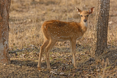 Young Spotted Deer in the Forest in Nagarhole National Park in India Stock Photo