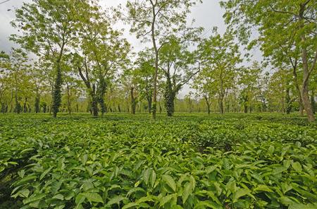 Tea Plantation in India in Assam, India