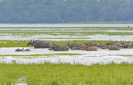 インドのカジランガ国立公園に川を渡って水牛の群れ