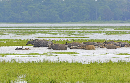 Herd of Water Buffalo Crossing a River in Kaziranga National Park in India Standard-Bild