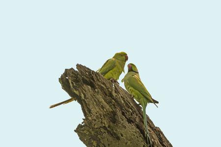 periquito: Alexandrine Parakeet in Assam in Kaziranga National Park in India Foto de archivo