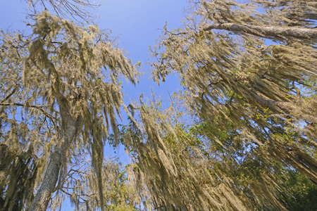 epiphyte: Looking up into the Spanish Moss of the Santa Ana Wildlife Refuge in Texas