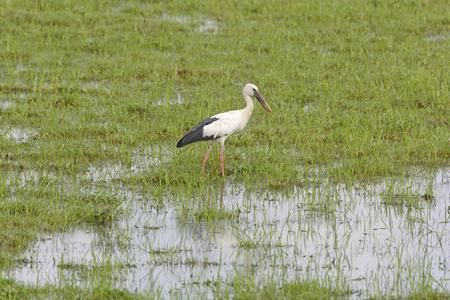 openbill: Asia Openbill Stork in a wetland in Kaziranga National Park in India