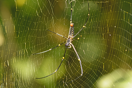 orb weaver: Northern Golden Orb Weaver Spider in Assam, India Stock Photo