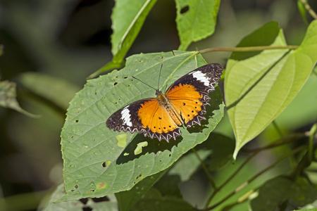 assam: Orange Lacewing Butterfly in Assam India