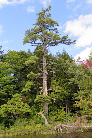 lake shore: Magestic White Pine on the Lake shore of Mirror Lake in Porcupine Mountains State Park in Michigan