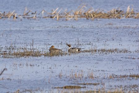 bayou swamp: Northern Pintail male and female in a wetland pond in the Cameron Prairie National Wildlife Refuge in Louisiana