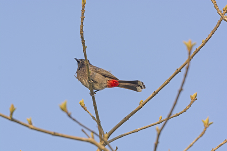 vented: Red Vented Bulbul in a Tree in Kaziranga National Park in India Stock Photo