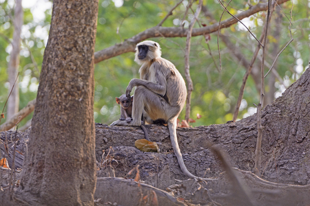 semnopithecus: Mother and Baby Langur in a tree in Chtiwan National Park in India Stock Photo