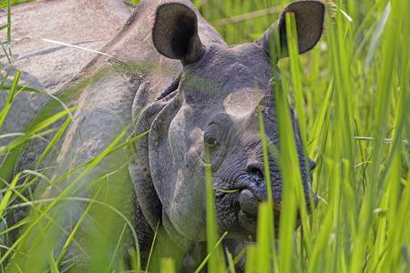 Rhino Peeking through the Grasses in Chitwan National Park in Nepal