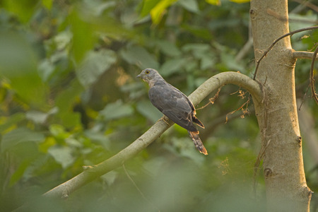 Himalayan Cuckoo in a Tree in Chitwan National Park in Nepal Stock Photo
