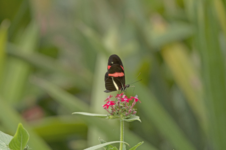 Postman Butterfly on a Flower in the La Paz Wildlife Sanctuary in Costa Rica Stock Photo