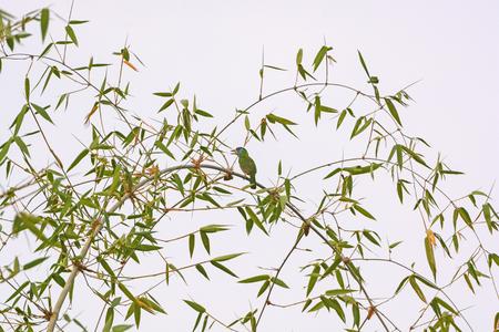 pokhara: Blue Throated Barbet in a Tree in Pokhara, Nepal