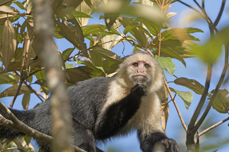 White face monkey in a Tree in Tortuguero National Park in Costa Rica Stock Photo