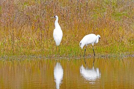 Whooping Cranes in a Wetland Pond in Wisconsin
