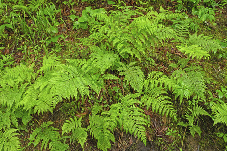 appalachian: Ferns on the Forest Floor along the Appalachian Trail in the Great Smoky Mountains National Park in North Carolina