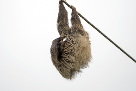 sloth: Two Toed Sloth hanging and Sleeping on a Power Line in Costa Rica Stock Photo