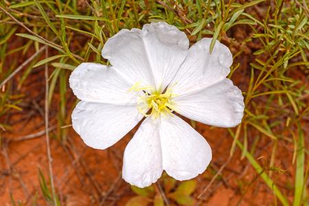 White Evening Primrose in the Desert near Sedona, Arizona