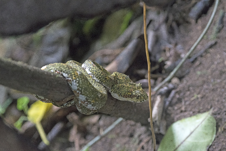 Eyelash Viper in a Cloud Forest Tree in the Mistico Arenal Hanging Bridges Park in Costa Rica