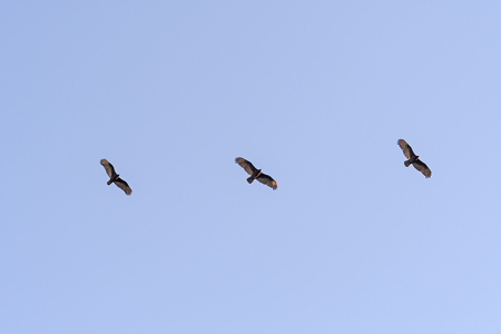 Turkey Vultures Soaring at Sunset in Joshua Tree National Park in California Stock Photo